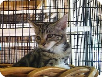 Domestic Shorthair Kitten for adoption in Modesto, California - Cab