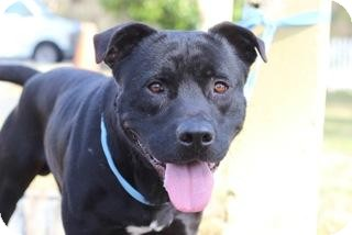 Labrador Retriever/American Pit Bull Terrier Mix Dog for adoption in Gainesville, Florida - Arthur