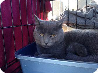 Domestic Shorthair Cat for adoption in Parkton, North Carolina - Echo