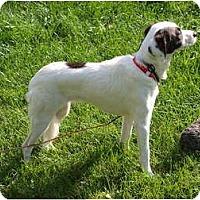 Adopt A Pet :: Shynia - Toronto/Etobicoke/GTA, ON