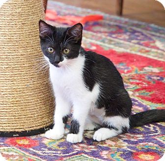 Domestic Shorthair Kitten for adoption in Chattanooga, Tennessee - Julia Child