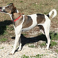 Basenji/Jack Russell Terrier Mix Dog for adoption in Melbourne, Arkansas - Curly