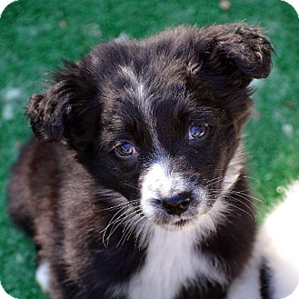 Border Collie Puppy for adoption in Garland, Texas - Ash