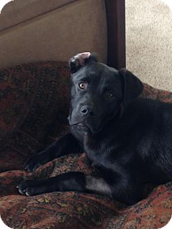 Labrador Retriever Mix Puppy for adoption in Winchester, Virginia - Emmit