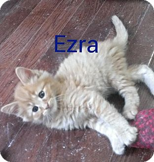 Domestic Mediumhair Kitten for adoption in Ringgold, Georgia - Ezra