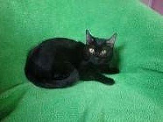 Oriental Cat for adoption in Sarasota, Florida - Evan