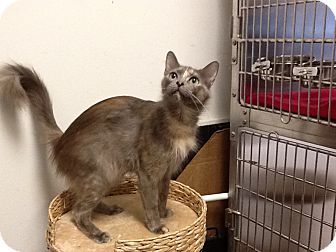 Maine Coon Cat for adoption in Houston, Texas - Mora
