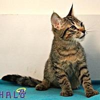 Adopt A Pet :: Tiger - Sebastian, FL