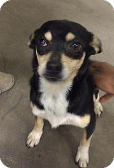 Chihuahua/Dachshund Mix Dog for adoption in Sanford, Florida - Rhett