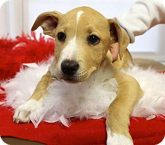 American Bulldog/Coonhound Mix Puppy for adoption in Mohegan Lake, New York - Royce