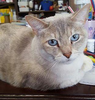 Siamese Cat for adoption in Austin, Texas - Blanca