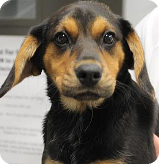German Shepherd Dog Mix Puppy for adoption in Philadelphia, Pennsylvania - Riley