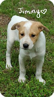 Terrier (Unknown Type, Medium)/Shepherd (Unknown Type) Mix Puppy for adoption in Haggerstown, Maryland - Jimmy