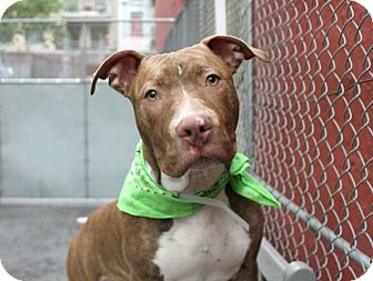 Pit Bull Terrier Mix Dog for adoption in Manchester, New Hampshire - OTIS