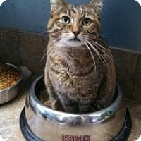 Domestic Shorthair Cat for adoption in West Des Moines, Iowa - Patches