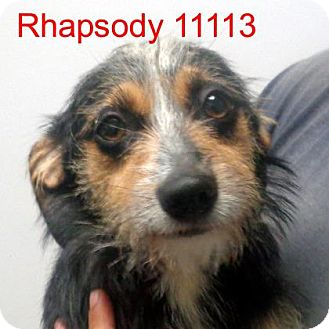 Dachshund/Jack Russell Terrier Mix Dog for adoption in Greencastle, North Carolina - Rhapsody