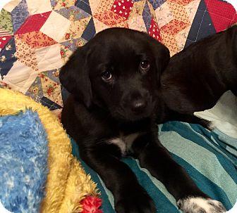 Labrador Retriever Mix Puppy for adoption in waterbury, Connecticut - Murtaugh