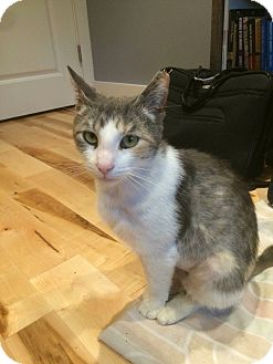 Domestic Shorthair Cat for adoption in Cherry Hill, New Jersey - Hannah