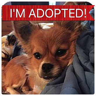 Chihuahua Mix Dog for adoption in Regina, Saskatchewan - Ditto