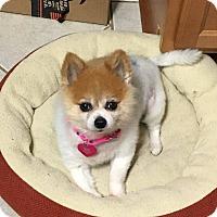 Adopt A Pet :: Lilly - Troy, MI