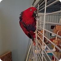 Adopt A Pet :: Zoe - St. Louis, MO