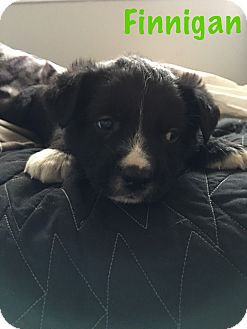 Border Collie Mix Puppy for adoption in Detroit, Michigan - Finnigan-Adopted!