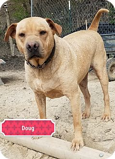Shar Pei Mix Dog for adoption in Cincinnati, Ohio - Doug