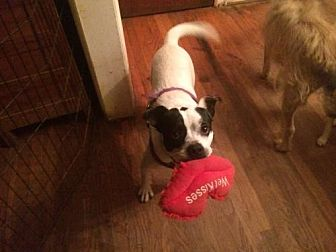 English Bulldog/Terrier (Unknown Type, Medium) Mix Dog for adoption in Columbia, Tennessee - Graham MH