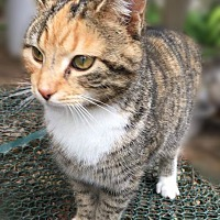 Calico Kitten for adoption in Franklin, Tennessee - Chyna