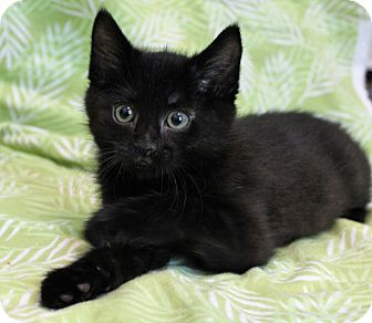 Domestic Shorthair Kitten for adoption in Greensboro, North Carolina - Ninja