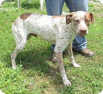 German Shorthaired Pointer/Terrier (Unknown Type, Medium) Mix Dog for adoption in Reeds Spring, Missouri - Nate