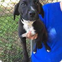 Adopt A Pet :: Spot - Berkeley Heights, NJ