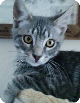 Domestic Shorthair Kitten for adoption in Buhl, Idaho - Captain Jack