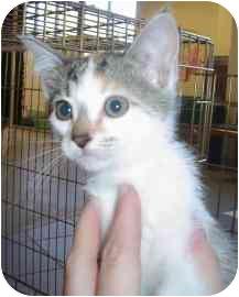 Domestic Shorthair Kitten for adoption in Walker, Michigan - Phoebe