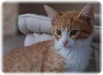 Domestic Shorthair Kitten for adoption in Naples, Florida - Trenton