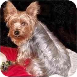 Yorkie, Yorkshire Terrier Mix Dog for adoption in Dunedin, Florida - Graycee
