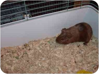Guinea Pig for adoption in Huntingdon, Pennsylvania - Sandy