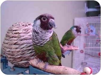 Conure for adoption in Redlands, California - Daffy & Darla
