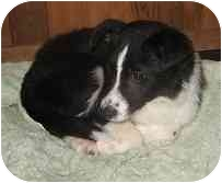 Border Collie Puppy for adoption in Seattle, Washington - BC pups!!!