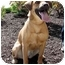 Photo 1 - Labrador Retriever/Beagle Mix Dog for adoption in Overland Park, Kansas - Penelope
