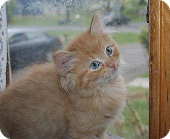 Domestic Longhair Kitten for adoption in Berlin, Connecticut - Stevie Ray-PENDING