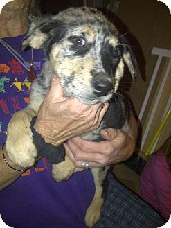 Catahoula Leopard Dog/Labrador Retriever Mix Puppy for adoption in Howard, Colorado - Jen