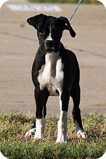 Boxer Puppy for adoption in McKinney, Texas - Mickey