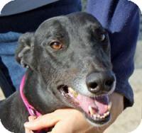 Greyhound Dog for adoption in Tucson, Arizona - Herbie