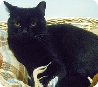 Domestic Shorthair Cat for adoption in Hamburg, New York - Maggie May