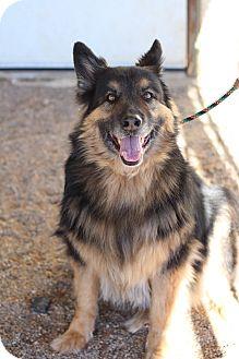 Australian Shepherd Dog for adoption in Chino Valley, Arizona - Leo