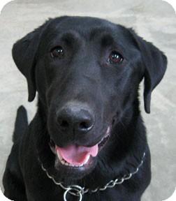 Labrador Retriever Mix Dog for adoption in Bonners Ferry, Idaho - Zoey