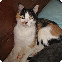 Domestic Mediumhair Cat for adoption in Sherman Oaks, California - Cheetah