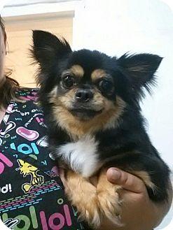 Chihuahua/Pomeranian Mix Dog for adoption in Hammonton, New Jersey - Buddy