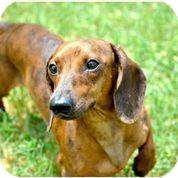 Dachshund Dog for adoption in Austin, Texas - Oscar